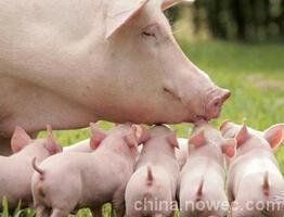 如何建立健康高产的母猪群,这些建议值得珍藏!