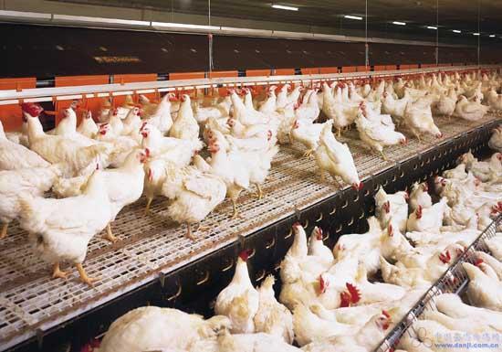 鸡、反刍动物系列饲料