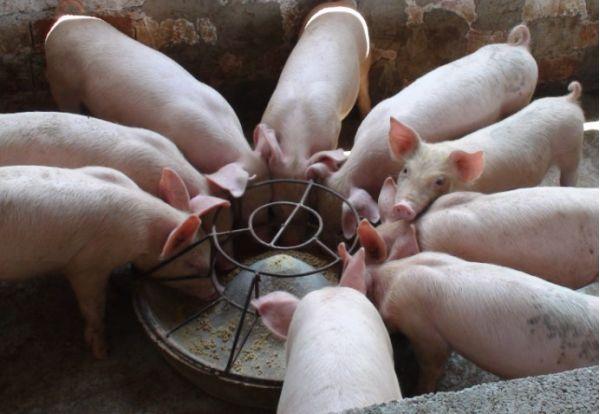 猪系列饲料